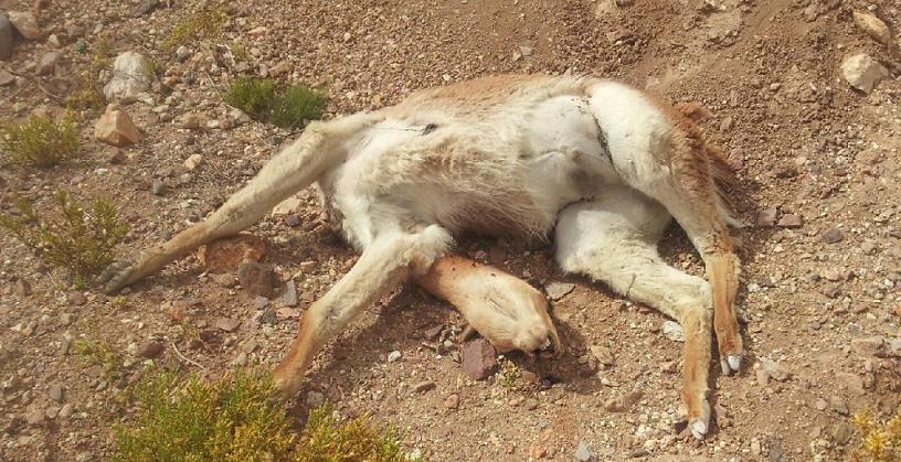 Photo of Interponen querella ante hallazgo de vicuña muerta por balazo