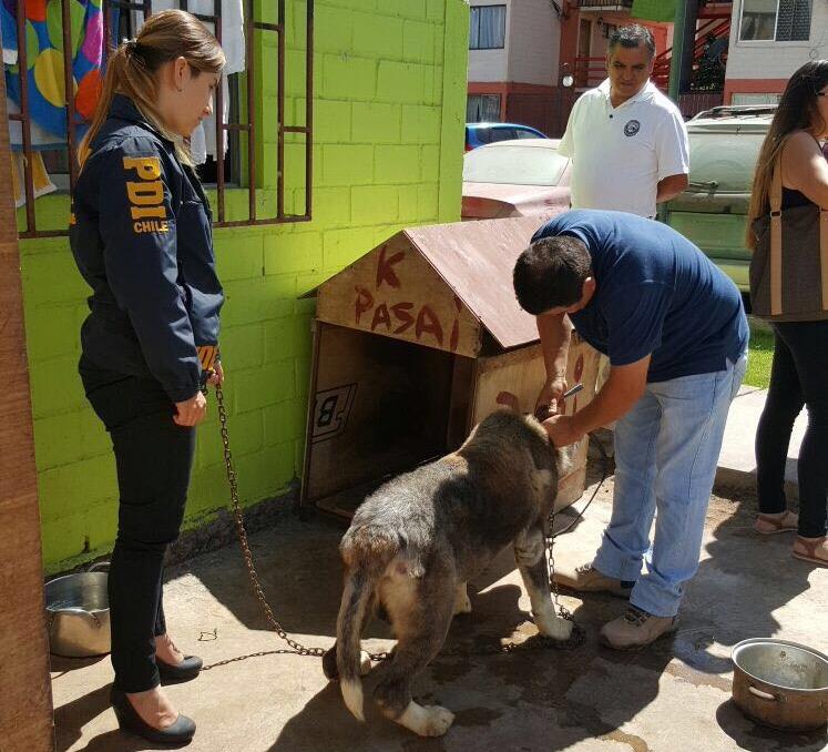 Photo of PDI y Agrupación Protectora de Animales rescatan a perro Akita