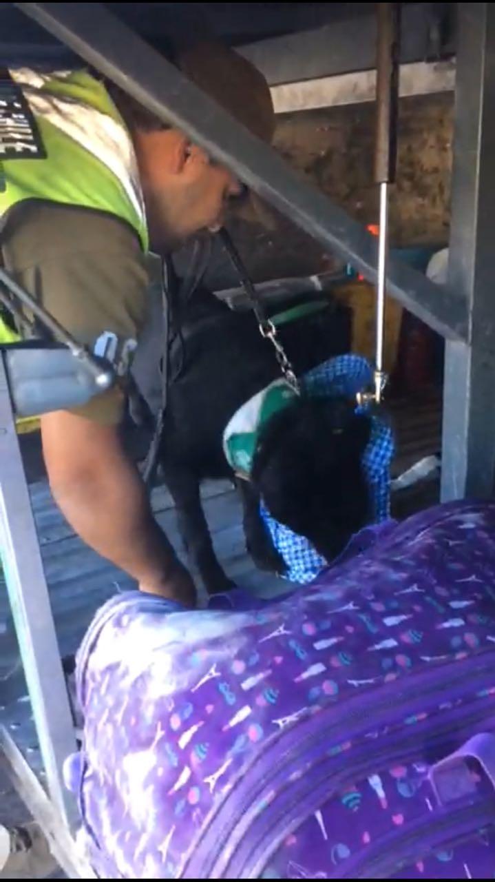 Photo of Ejemplar canino «Alice» detecta 7375 dosis de pasta base de cocaína en maletero de un bus