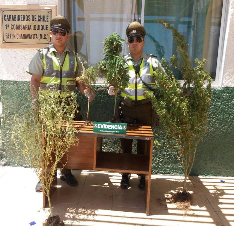 Photo of Incautan cuatro plantas de marihuana en domicilio de Chanavayita